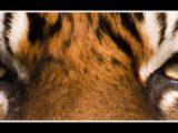 tigereyes-(2).jpg